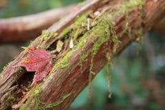Het blad van de herfst op boomschors Stock Foto