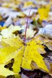 Het blad van de herfst van een esdoorn Stock Afbeeldingen