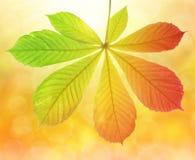 Het blad van de herfst van kastanjeboom Stock Afbeelding