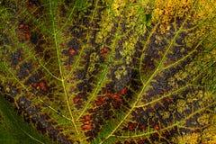 Het blad van de de herfstdruif Stock Afbeeldingen