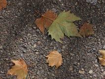 Het blad van de de herfstesdoorn op een bestrating Stock Foto's