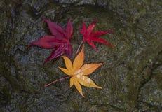 Het blad van de de herfstesdoorn op een steenachtergrond Mooie kleurrijke esdoorn Stock Afbeelding