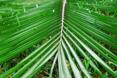 Het blad van de kokosnoot royalty-vrije stock afbeeldingen