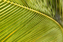 Het blad van de kokosnoot Stock Afbeelding