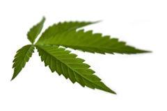 Het blad van de marihuana of van de cannabis. Stock Afbeelding