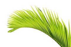 Het blad van de palm Stock Afbeelding