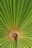 Het blad van de palm Royalty-vrije Stock Afbeeldingen