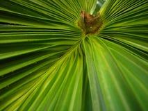 Het blad van de palm Stock Foto