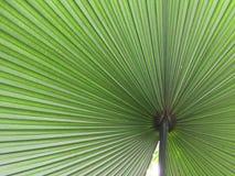 Het blad van de palm Royalty-vrije Stock Fotografie