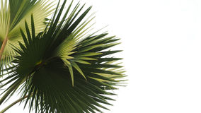 Het blad van de palm Royalty-vrije Stock Foto's