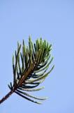 Het blad van de pijnboom Stock Fotografie