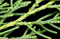 Het Blad van de pijnboom (chinensis Juniperus) Stock Foto