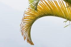 Het Blad van de pinangnotenpalm op witte achtergrond wordt ge?soleerd die royalty-vrije stock afbeeldingen