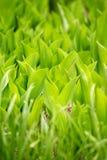 Het blad van de twee kleuren groene installatie royalty-vrije stock fotografie