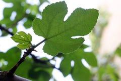 Het blad van de vijgeboom Stock Foto