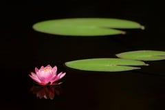 Het blad van de waterlelie en van de lotusbloem Stock Afbeeldingen