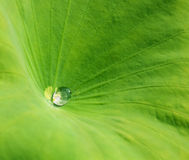 Het blad van de waterlelie met een waterdaling Stock Fotografie