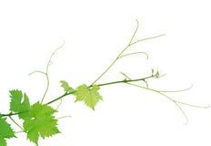 Het blad van de wijnstok Stock Afbeeldingen