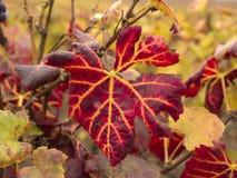 Het Blad van de wijnstok Stock Fotografie