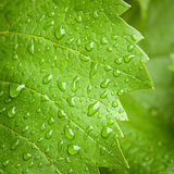 Het blad van de wijnstok in de regen Royalty-vrije Stock Foto