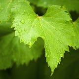Het blad van de wijnstok in de regen Stock Afbeelding