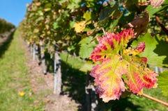 Het blad van de wijnstok in vineyar Royalty-vrije Stock Afbeeldingen