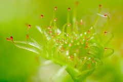 Het blad van de zonnedauw - peltata Drosera Royalty-vrije Stock Afbeeldingen