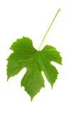 Het blad van druiven Royalty-vrije Stock Foto's