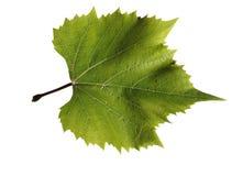 Het blad van druiven Stock Afbeelding
