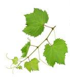 Het blad van druiven Royalty-vrije Stock Afbeelding