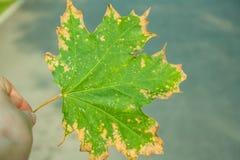 Het blad van het esdoorn groen-geel Royalty-vrije Stock Fotografie