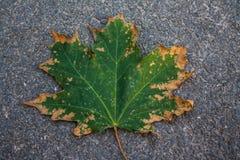 Het blad van het esdoorn groen-geel Stock Fotografie