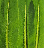 Het blad van groenten Royalty-vrije Stock Foto