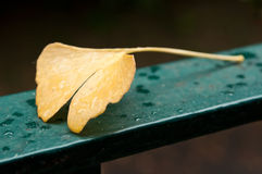 Het blad van het automnalblad van Ginkgobiloba tegen regenachtige dag Stock Foto's