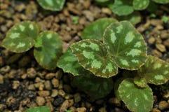 Het blad van jonge begonia royalty-vrije stock foto's