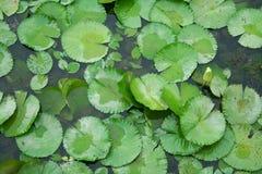 Het blad van Lotus stock afbeeldingen