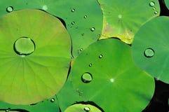 Het blad van Lotus Stock Afbeelding
