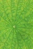 Het blad van Lotus Stock Fotografie