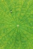 Het blad van Lotus Stock Foto