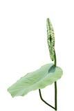 Het blad van Lotus Royalty-vrije Stock Foto