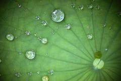Het blad van Lotus met waterdaling Stock Afbeeldingen