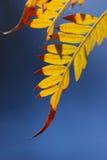 Het blad van mimosa's Royalty-vrije Stock Foto