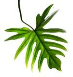 Het blad van Philodendronxanadu op witte achtergrond wordt geïsoleerd die Stock Afbeeldingen