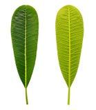 Het blad van Plumeria op witte achtergrond wordt geïsoleerdr die Stock Foto