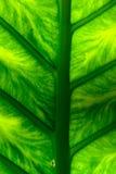 Het blad van Schott van Philodendrongiganteum Stock Fotografie