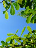 Het blad van Terminaliaivorensis en blauwe hemel lage hoek Stock Foto