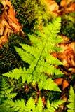 Het bladachtergrond en behang van Pteridiumaquilinum in hoge bovenkant - kwaliteitsdrukken stock afbeeldingen