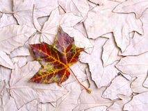 Het bladachtergrond van de esdoorn Stock Foto's