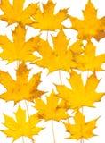Het bladachtergrond van de herfst. Wit. Stock Afbeeldingen