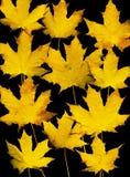 Het bladachtergrond van de herfst. Zwart. Stock Afbeeldingen